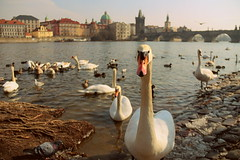Prague swan (zool18) Tags: swan birds travels contrast canon color city light architecture day river outdoor nature white europe mark2 animal awesome beauty flickr foto vision amazing atmosphere spring vltava