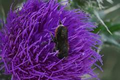 Osmia leaiana (lloyd177) Tags: osmia leaiana orange vented mason bee somerset