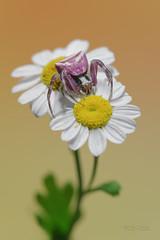 Thomisus onustus (mauro.santucci) Tags: thomisusonustus thomisidae ragno ragnogranchio aracnofobia insetti macro fiori