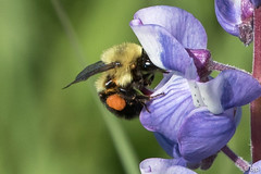Common Eastern Bumble Bee (bjptada) Tags: bee commoneasternbulblebee insect