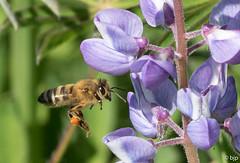 Honey Bee (bjptada) Tags: bee honeybee insect
