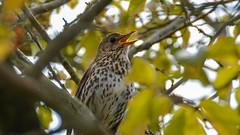 Song Thrush (moniquerebanks) Tags: songthrush bird songbird garden decline nikond7100 vogel lijster tuin jardin closeup nature natuur natura spring lente voorjaar printemps