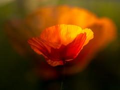 Poppy experiment (de_frakke) Tags: poppy doubleexposure oppositelight bloem flower klaproos dubbelopname