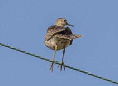 Upland Sandpiper (Bartramia longicauda) (mesquakie8) Tags: bird sandpiper standingonawire uppie uplandsandpiper bartramialongicauda upsa sycamore dekalbcounty illinois 8578