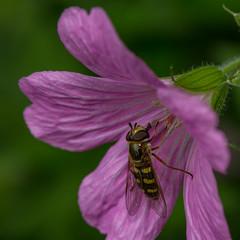 Eupeodes luniger (markhortonphotography) Tags: pollen deepcut surrey cranesbill macro syrphidae syrphid nature flower hoverfly geranium wildlife insect eupeodesluniger surreyheath invertebrate