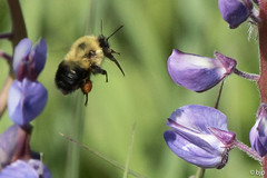 Common Eastern Bumble Bee (2) (bjptada) Tags: bee commoneasternbulblebee