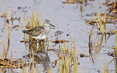 Hrísastelkur - lesser yellowlegs (Mikael Sigurðsson) Tags: manfrotto mikaelsigurðsson amazing nikon nature nikkor national nice north animal bird birding beautiful birds bar blue fave capture closeup colours contrast colour animals animalplanet award astonishing fantastic water summer sea stunning siglufjörður d500 details f56 great head headshot ljósmyndun lifer low wildlife wild wader waterfowl pro outside supershot superb iceland ísland ocean portrait photography