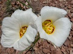 two blooming mariposa lilies (maryannenelson) Tags: durango colorado spring wildflowers blossoms blooming dallapark landscape mariposa