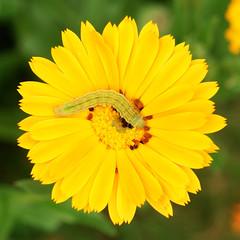 flower and caterpillar (Carsten Weigel) Tags: blume flower raupe insekt caterpillar insect carstenweigel sonyr1
