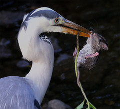 Heron takes a Rat. (mond.raymond1904) Tags: heron rat dodder dublin