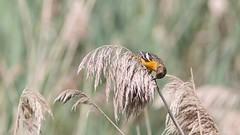 Oriole de Baltimore, Laval, (4) (Michel et Micheline) Tags: oiseaux orioledebaltimore baltimoreoriole birds québec laval canada canon canon70d 2019 wildlife