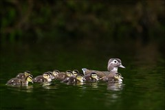 Wood Duck Mother and Brood (Daniel Cadieux) Tags: duck woodduck female family ducklings brood siblings