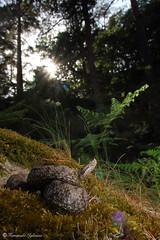 Vipera latastei (Fernando_Iglesias) Tags: vipera víbora snake viperidae hocicuda latasti adder herping herps venom venomous reptiles reptile spain españa soria