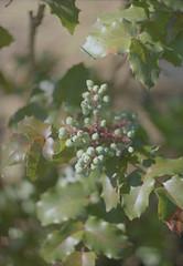 Green Berries (itskaty) Tags: zenit zenitet slr kodakgold kodakgold200 portland pdx oregon berries plants nature