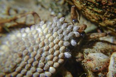 South Californian giant water beetle with eggs on her back (JBM.photography) Tags: freshwaterbeetle freshwater freshwaterbugs underwater lifecycle life rx0m2 rx0ii sonyrx0ii sony filter closeup macro insect waterbeetle mothership egg eggs mother californiawaterbeetle giantwaterbeetle water beetle