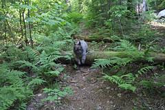 Sedum - 6/23/19 (myvreni) Tags: vermont summer nature outdoors animals dogs cairnterriers pets