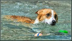 CorgiSwim_2050 (bjarne.winkler) Tags: photo from sacramento corgi pack meetup swim the animal den pet resort