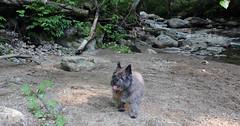 Sedum - 6/23/19 (myvreni) Tags: vermont summer nature outdoors animals dogs cairnterriers pets stream
