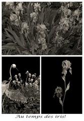 Au temps des iris.../ Iris in the june garden... (Argentique/ Film) (Pentax_clic) Tags: pentax p30t ilford hp5 400iso hc110b argentique film nb juin 2019 robertwarren vaudreuil québec