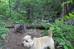 Diggs & Sedum - 6/23/19 (myvreni) Tags: vermont summer nature outdoors animals dogs cairnterriers pets