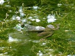 Wednesday's frog (EcoSnake) Tags: americanbullfrog lithobatescatesbeiana frogs amphibians water wildlife june summer idahofishandgame naturecenter