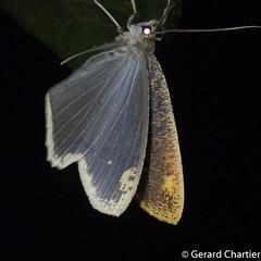 Pareumelea hortensiata (GeeC) Tags: ennominae tatai geometridae geometroidea nature animalia pareumelea arthropoda kohkongprovince cambodia insecta pareumeleahortensiata lepidoptera butterfliesmoths inchwormmoths ឃុំឫស្សីជ្