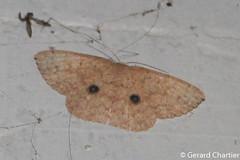 Organopoda sp. (GeeC) Tags: sterrhinae tatai geometridae organopoda geometroidea nature lepidoptera kohkongprovince cambodia animalia arthropoda insecta butterfliesmoths inchwormmoths
