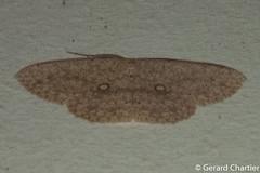 Perixera sp. (GeeC) Tags: perixera sterrhinae tatai geometridae geometroidea nature lepidoptera kohkongprovince cambodia animalia arthropoda insecta butterfliesmoths inchwormmoths ឃុំឫស្សីជ្ kohkong