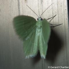 Geometrinae (GeeC) Tags: tatai geometridae geometrinae geometroidea nature arthropoda kohkongprovince insecta cambodia lepidoptera animalia butterfliesmoths inchwormmoths ឃុំឫស្សីជ្ kohkong