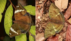 """LADIES and GENTLEMEN, BOYS and GIRLS!"" - Bronze Dukes (Euthalia nara, Limenitidinae, Nymphalidae) (John Horstman (itchydogimages, SINOBUG)) Tags: insect macro china yunnan itchydogimages sinobug entomology collage mosaic boysandgirls butterfly lepidoptera nymphalidae duke limenitidinae euthalia nara euthalianara tweet fb"
