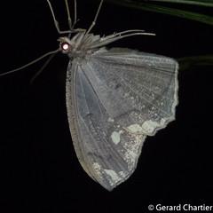 Pareumelea eugeniata (GeeC) Tags: ennominae tatai geometridae arthropoda geometroidea animalia nature insecta pareumelea lepidoptera naturetours cambodia kohkongprovince nightwalk pareumeleaeugeniata butterfliesmoths inchwormmoths ឃុំឫស្សីជ្