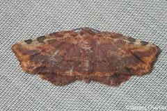 Achrosis sp. (GeeC) Tags: ennominae tatai geometridae geometroidea nature arthropoda cambodia kohkongprovince insecta achrosis lepidoptera animalia butterfliesmoths inchwormmoths ឃុំឫស្សីជ្ kohkong