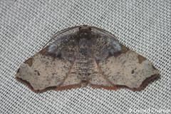Achrosis sp. (GeeC) Tags: ennominae tatai geometridae geometroidea nature lepidoptera animalia kohkongprovince cambodia achrosis arthropoda insecta butterfliesmoths inchwormmoths ឃុំឫស្សីជ្ kohkong