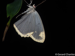 Pareumelea hortensiata (GeeC) Tags: ennominae tatai geometridae geometroidea nature animalia pareumelea arthropoda kohkongprovince cambodia insecta pareumeleahortensiata lepidoptera butterfliesmoths inchwormmoths