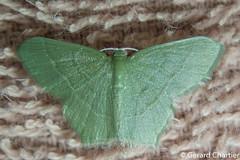Geometrinae (GeeC) Tags: tatai geometridae geometrinae geometroidea nature lepidoptera kohkongprovince cambodia animalia arthropoda insecta butterfliesmoths inchwormmoths ឃុំឫស្សីជ្