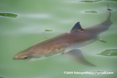 Great White Shark (Carcharodon carcharias) DSC_8111 (fotosynthesys) Tags: greatwhiteshark carcharodoncarcharias whiteshark lamnidae shark fish california unitedstates vulnerable