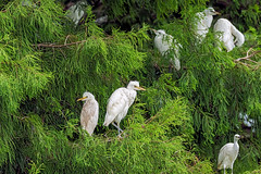 Cattle Egret juv. (noblesgeorge1) Tags: