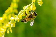Honey Bee (Trigger Pete) Tags: honey bee sweet clover honeybee savona