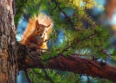 Белка - маленькое солнце (marussia1205) Tags: белка бельчонок солнце squirrel sun