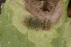Scarlet-bodied wasp moth (Cosmosoma myrodora) (Ashley Bosarge) Tags: caterpillar lepidoptera