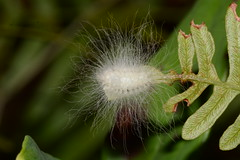 Flannel moth (Ashley Bosarge) Tags: caterpillar lepidoptera