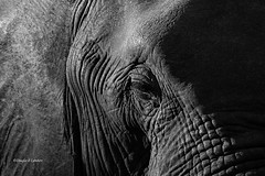 Sabi Sands, South Africa June 15, 2019 (Doug Lambert) Tags: africanbushelephant mammal animal wildlife nature closeup wrinkles blackandwhite sabisabi sabisands krugernationalpark southafrica canon7dmarkii canon100400ii