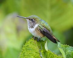 Hummingbird - Selasphorus sp. (Trochilidae) 115v-15159 (Perk's images) Tags: hummingbird selasphorussp apodiformes trochiliformes bird neotropical riosavegre sangerardodedota costarica animalplanet
