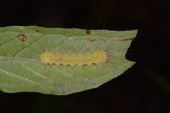 (Ashley Bosarge) Tags: caterpillar lepidoptera