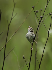 You call that a song? (martytdx) Tags: franklintownship nj negrinepotegrasslands negrinepotenativegrasslandpreserve birding birds grasslands passerine sparrow henslow'ssparrow centronyxhenslowii male centronyx emberizidae singing henslow'ssparrow