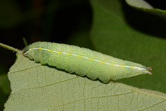 Prominent (Ashley Bosarge) Tags: caterpillar lepidoptera