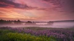 Lever du jour sous la brume (gaudreaultnormand) Tags: brume canada épilobe fleur frais juin leverdesoleil longueexposition lumière misty quebec saguenay sunrise