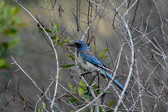 California Scrub-Jay (linda m bell) Tags: malibucreekstatepark calabasas california 2019 birdwatching socal californiascrubjay