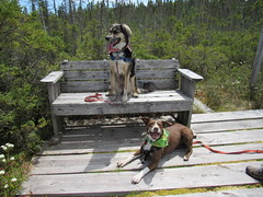 Trillium and Hailey Smiling In The Bog (amyboemig) Tags: june peacham bog trail hike hiking ham northeastkingdom dogs dog bench trillium trill trilli hailey happy smiling