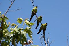 Nanday Parakeets (linda m bell) Tags: malibucreekstatepark calabasas california 2019 birdwatching socal nandayparakeets